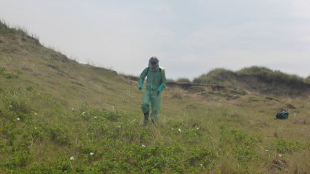 Spraying Rosa Rugosa, another invasive species from the Far East which is taking a grip