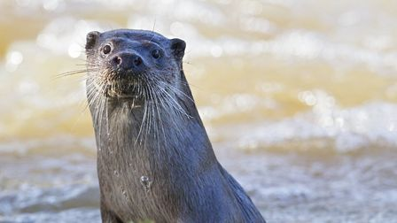Otters can be found on quite a few Dorset rivers (Photo by Paul Williams)