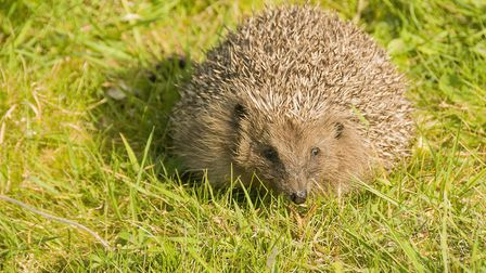 Hedgehogs are popular wild resident with gardeners (Photo by Stewart Canham)