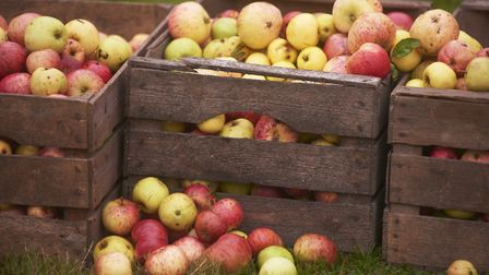 Crates filled with apples from the orchard at Barrington Court, Somerset.