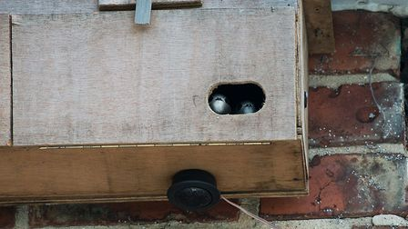 Swiftlets stare out of the nestbox by Peter Smith