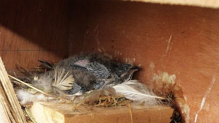 Four-week-old swiftlets in the nest by Peter Smith