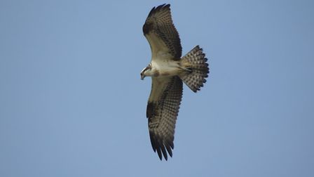 Osprey over the River Roach by Charlie Oliver