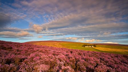 Moorland Heather the view from Harris End Fell towards Calder Fell. Jeanie Lazenby
