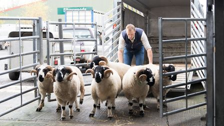 James Whitwell taking lonk tups to auction in Clitheroe