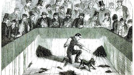 Manchester Terriers were used for pit-ratting in the 19th century