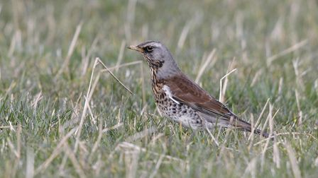 The colourful fieldfare will be around until spring by Darin Smith