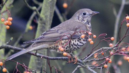 The mistle thrush may appear in your garden by Amy Lewis