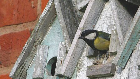 Great Tit emerging from a nest box which they can use to roost in during winter months (Photo by Gil