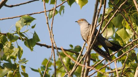 Cuckoo by Amy Lewis