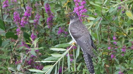 Cuckoo among the wild flowers by Ged Gill