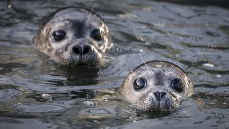 Two of the common seals in the centre's pool (photo: Matthew Usher)