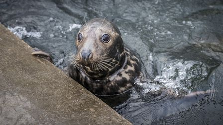 Mrs Frisbee the grey seal, with her injured neck (photo: Matthew Usher)