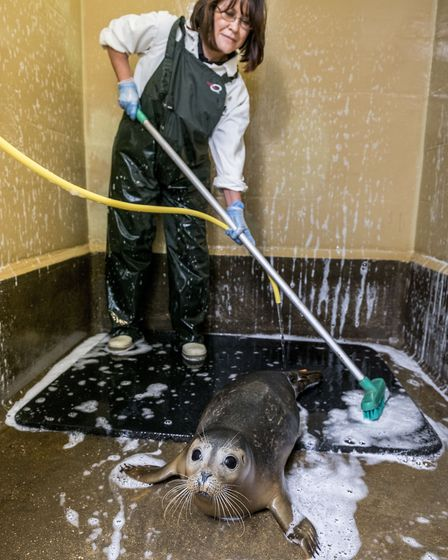 Wildlife assistant Debbie Hunter cleans an enclosure, complete with common seal (photo: Matthew Ushe