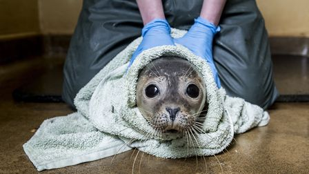 A recovering common seal with wildlife assistant Charlotte Rayner (photo: Matthew Usher)