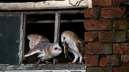 A barn owl feeds an owlet in a building in Lancashire by Peter Smith