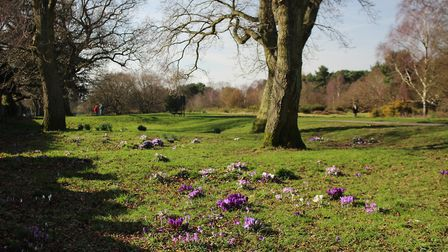 Crocus in bloom on Redhill Common Local Nature Reserve a precious fragment of the ancient heath that