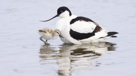 Avocet parent and chick