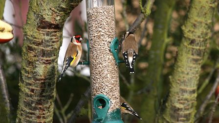 Goldfinches tucking into some sunflower seed hearts