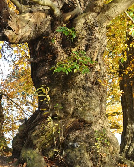 Mighty oaks and sqirrels in Christchurch Park