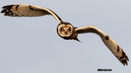 A short-eared owl at Lunt by Mike Graham