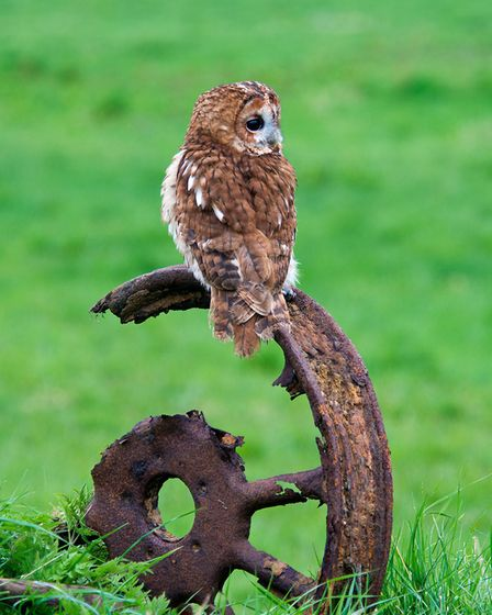 A tawny owl takes a rest by Peter Smith