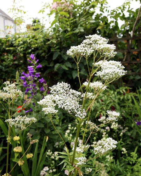 Ammi majus in a herbaceous bed