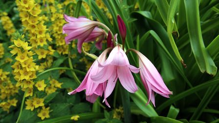 A lovely crinum lily, which loves moisture
