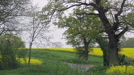 An oak tree just coming into leaf and yellow oil seed rape fields are the highlights of this cou