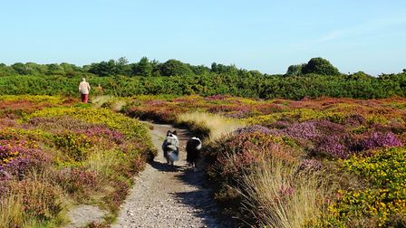 Tapestry of Heather on Dunwich Heath.