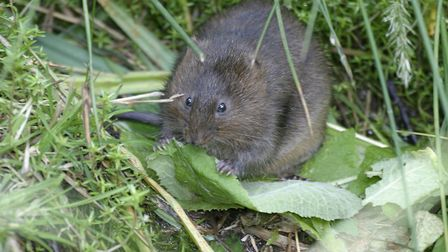 Water voles have been discovered on a number of sites in the North West by Darin Smith