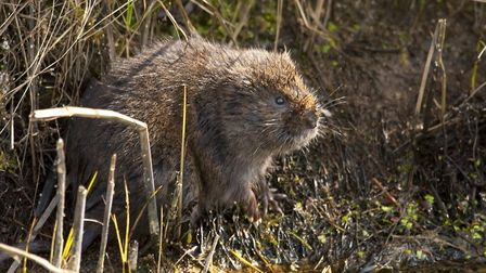 Ratty from Wind in the Willows is actually a water vole by Tony Dunn
