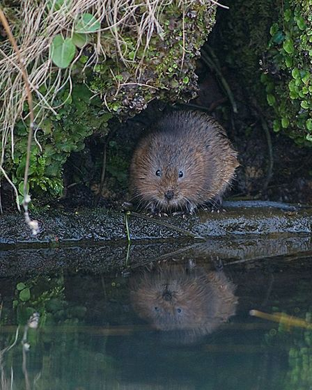 Water vole reflecting on his life by Peter Smith
