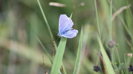 Common blue butterfly on Cadishead Moss (Picture: Alan Wright)