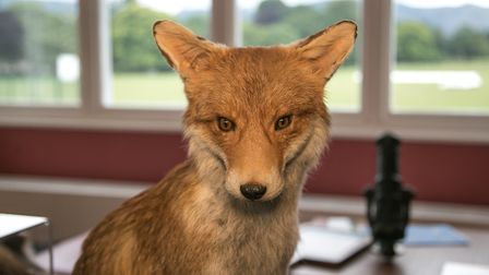 A fox displayed at the museum