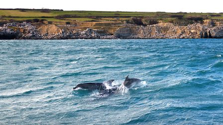 Dolphins playing off the Jurassic Coast