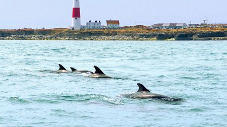 A pod of bottlenose dolphins playing in the race at Portland Bill in March