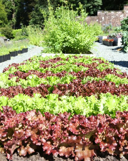 Rows and rows of perfect lettuce cultivated by Charles and his team