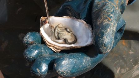 Nothing beats the taste of an oyster straight from the sea (c) Maureen Harvey