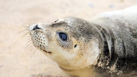 Visiting the seals is a quintessential Norfolk winter pastime (photo: James Bass)