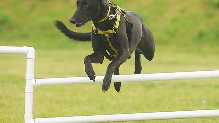 Moose the lurcher enjoys the agility course at the Dogs Trust at Snetterton (photo: Ian Burt)