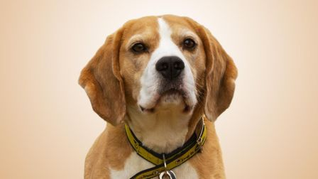 Dave is a handsome five-year-old beagle. Hes a sensitive lad who will need patient owners as he can