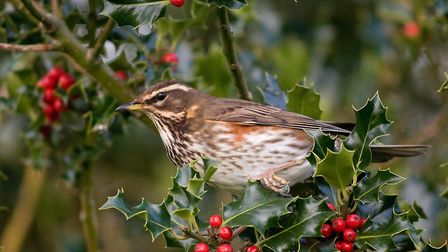 A redwing festing on holly berries (Picture: Peter Smith)