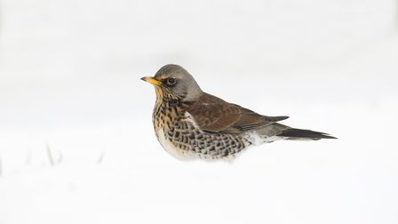 Even in the snow it's warmer here for fieldfare than Scandinavia (Picture: Peter Smith)