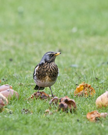 A fieldfare making a meal of fallen fruit (Picture: Peter Smith)