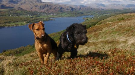 Two Lakeland terriors enjoying the forest walks and views of Grizedale forest. North West England FD