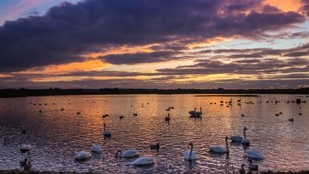 Dusk over Martin Mere with whooper swans settling in for the night