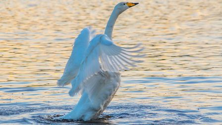 A swan displaying its wings
