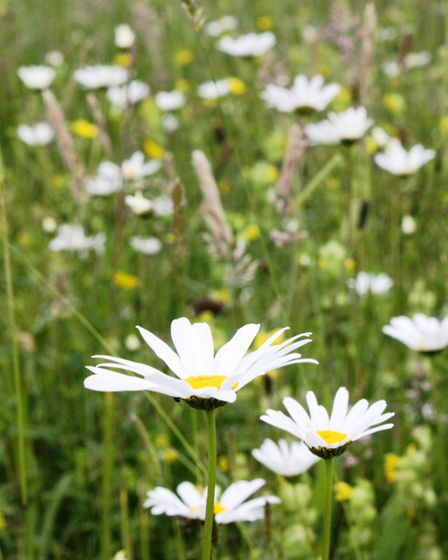 The meadow at Wigan Flashes has some wonderful wild flowers