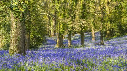 Sunshine through the leaves in bluebell woods in Dorset. Photo credit: allou, Getty Images/iStockpho